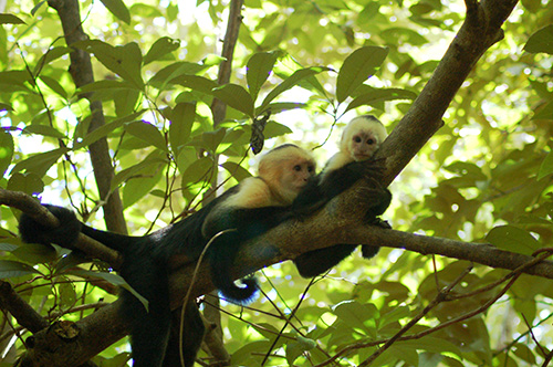 Monkeys in a tree in Costa Rica