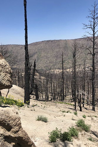 Burned trees in New Mexico
