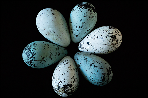 Mark Hauber demonstrated how the unique conical shape of thick-billed murre eggs help prevent them from rolling out of nests. (Photo by L. Brian Stauffer.)