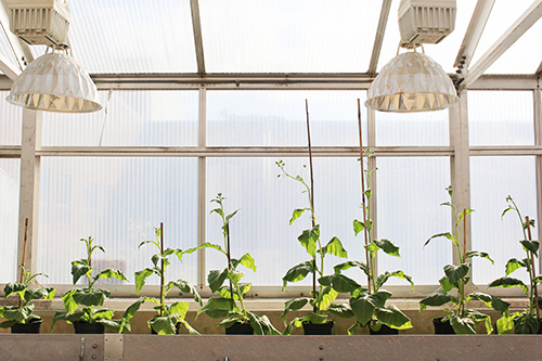 Four unmodified plants (left) grow beside four plants (right) engineered with alternate routes to shortcut photorespiration—an energy-expensive process that costs yield potential. The modified plants are able to reinvest their energy and resources to boost productivity by 40 percent.