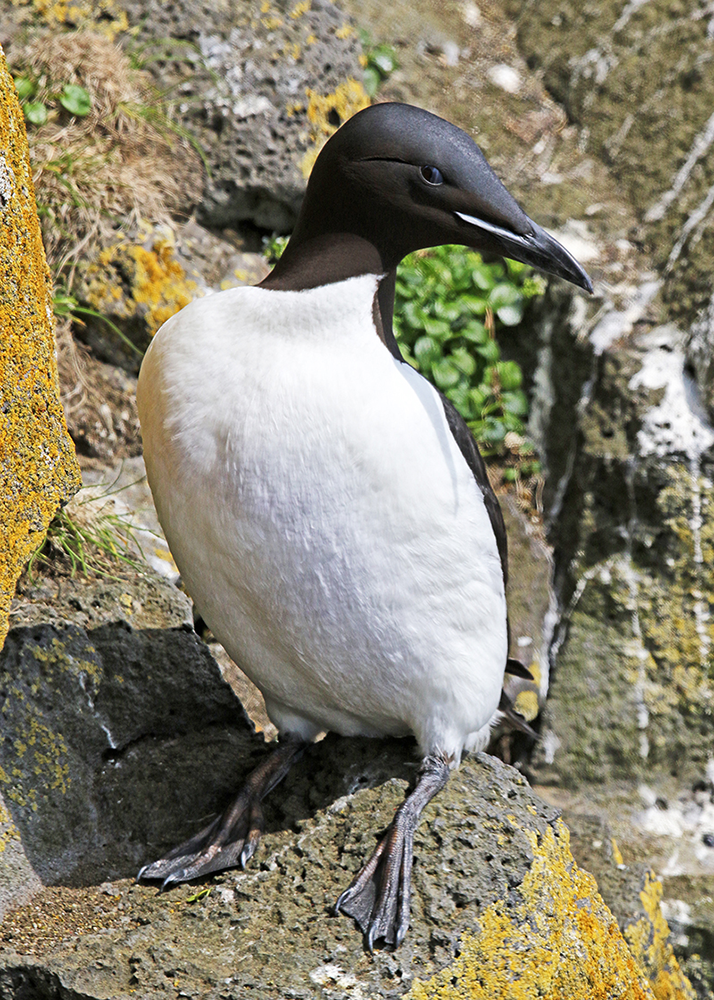 A thick-billed murre. (Photo by Michael Jeffords and Susan Post.)