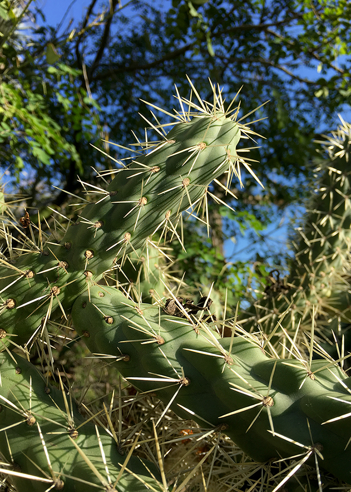 The spines of Cylindropuntia fulgida, also known as jumping cholla, have a reproductive role. They latch on to passersby and carry small chunks of cactus flesh to new locations. (Photo by John Traeger.)