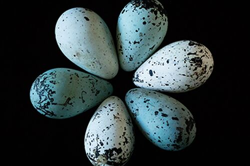Pointy eggs more likely to stay in cliffside nests, study finds